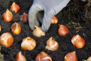 Planting bulbs in Fall