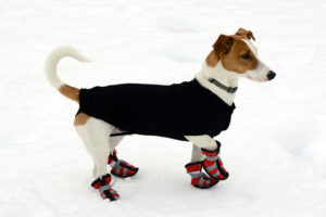 Terrier in snow shoes